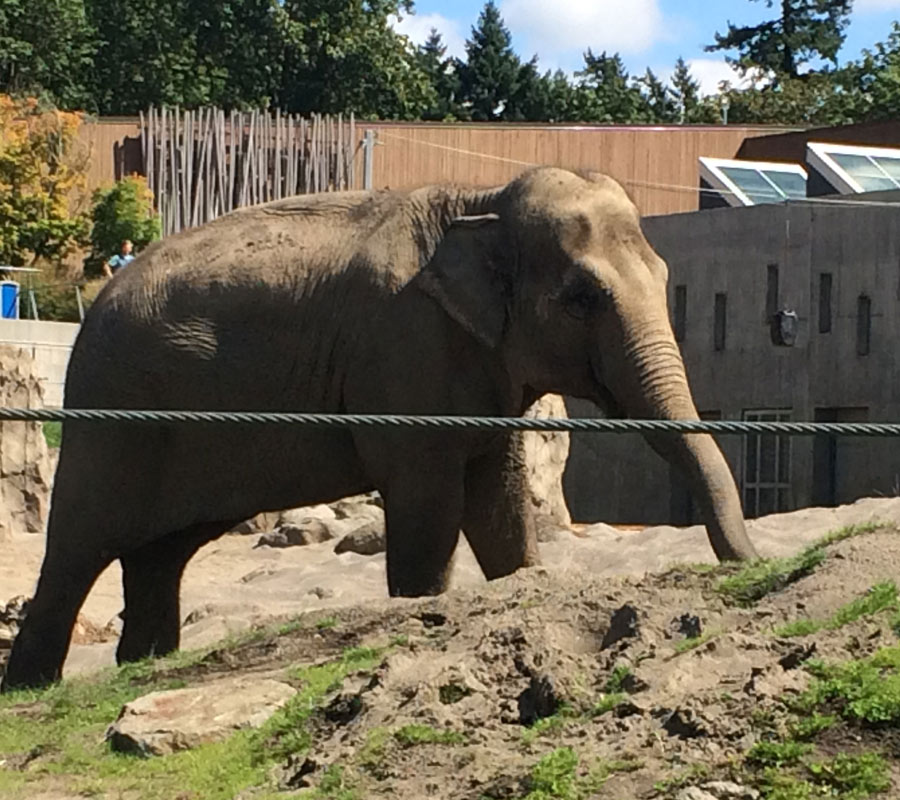 Risk of Infection and Disease in Oregon Zoo Elephants | FOZE Facts